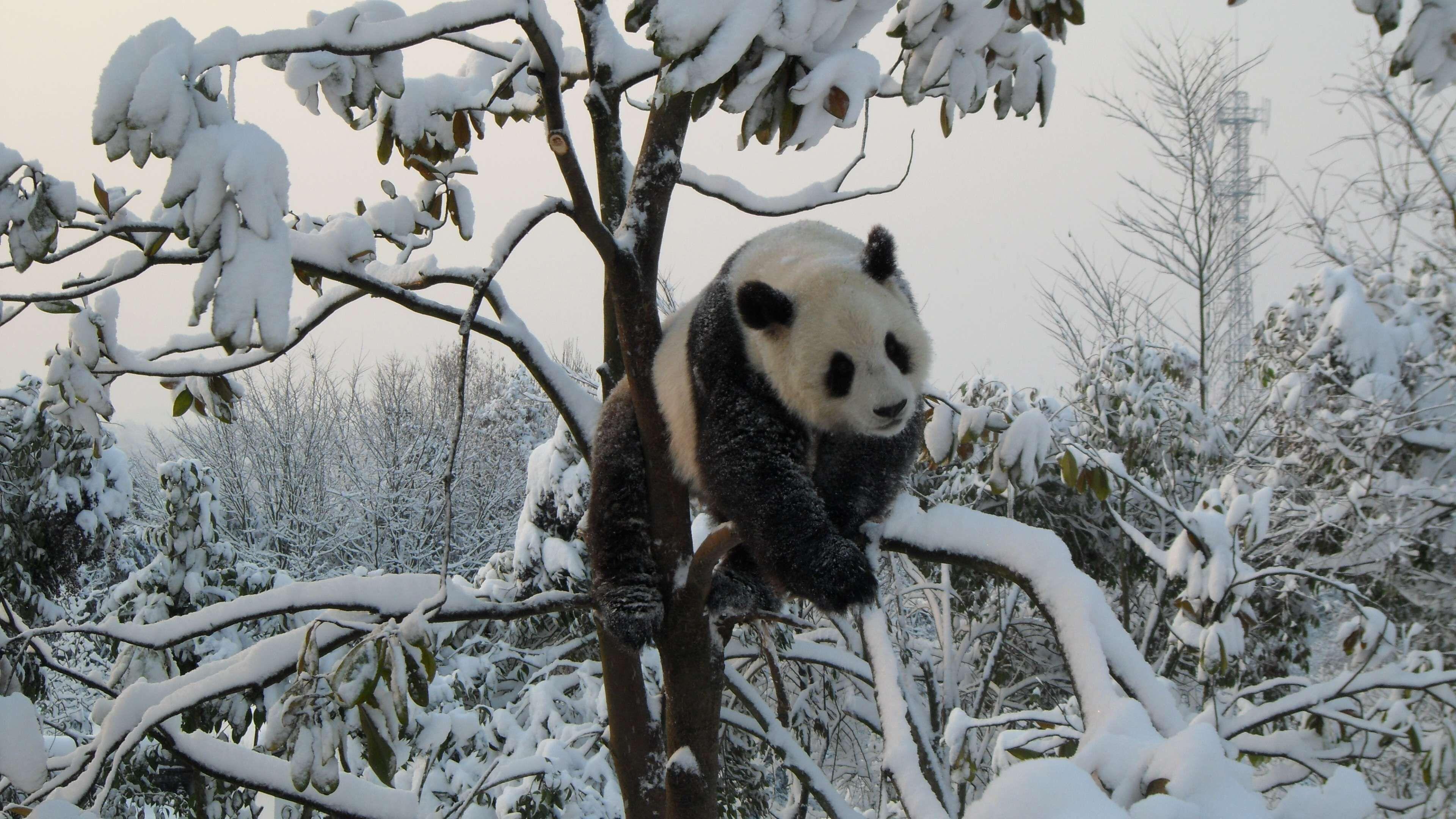 可爱大 熊猫高清图片电脑桌面主题壁纸5,图片尺寸:1920×1080,来自